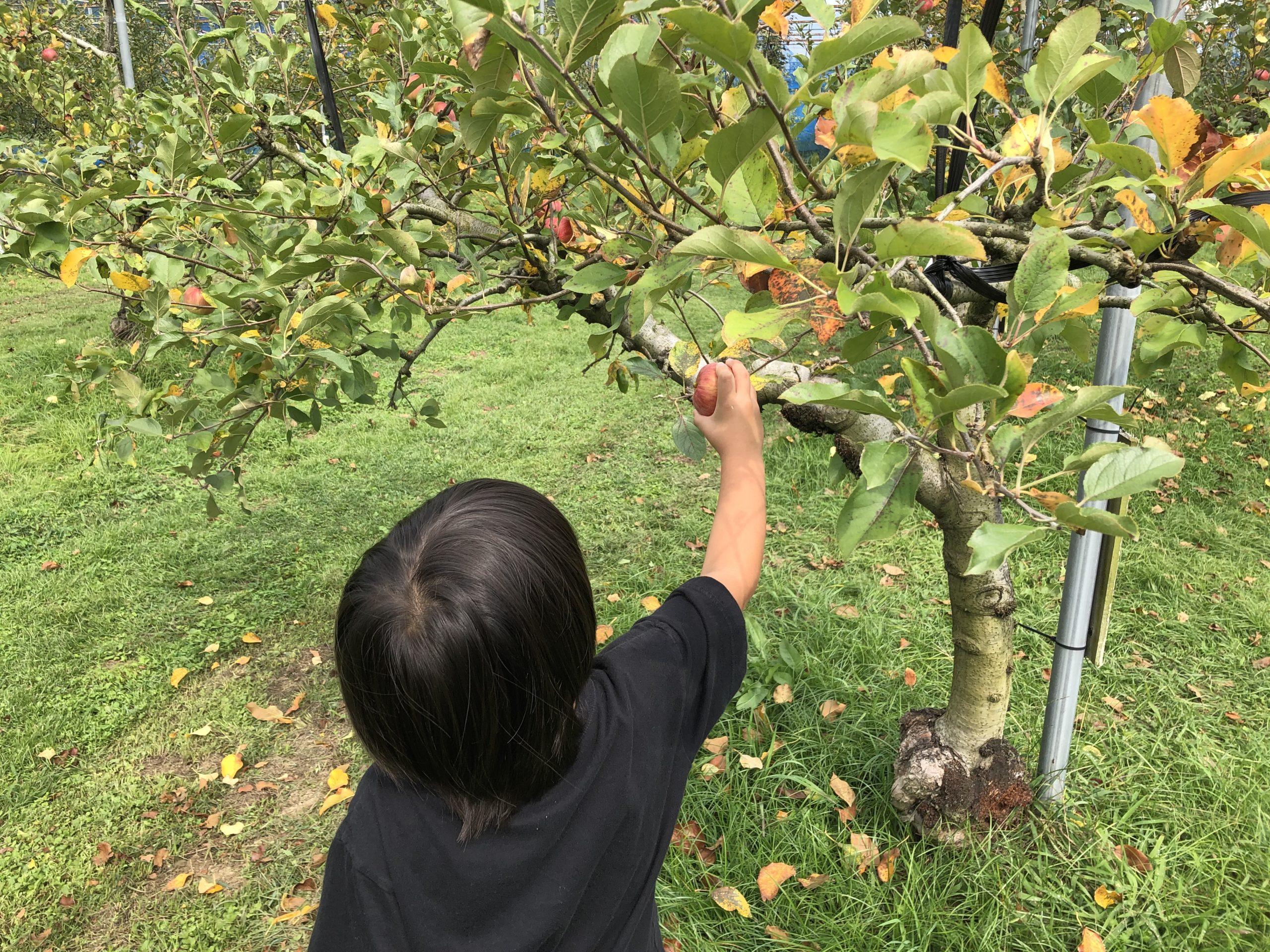 山口県下関市の梶山りんご園にりんご狩りに行きました
